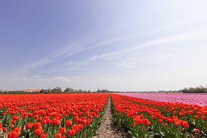 Een veld met rood en roze bloeiende tulpen