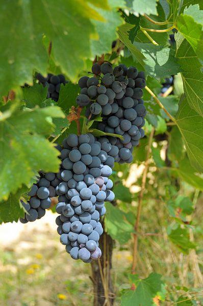 Toscaanse druiven van Paul van Baardwijk