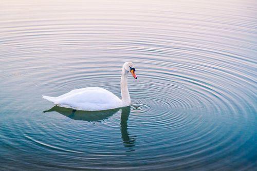 Serene cygne dans l'eau au coucher du soleil