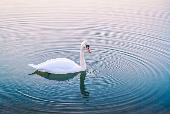 Serene zwaan in het water bij zonsondergang