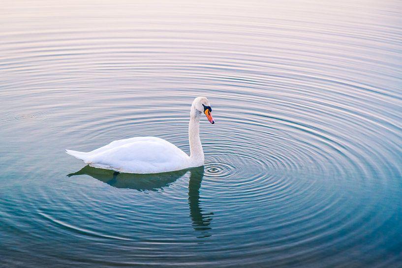 Serene zwaan in het water bij zonsondergang van Marco Willemsen