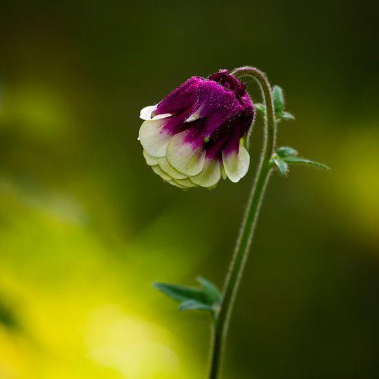Lovely Flower van William Mevissen