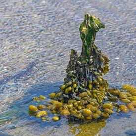 Blasentang im Wattenmeer Nationalpark von Peter Eckert