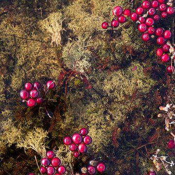 Drijvende cranberries Vlieland. (1 bij 1)