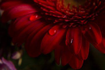 Rote Gerbera von Stephanie Kweldam-Beugelink