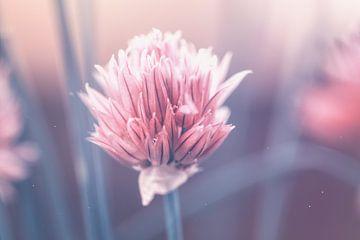 dromerig roze van Kristof en Petra