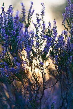 Purpurrote blühende Heide mit untergehender Sonne.  von Mark Scheper