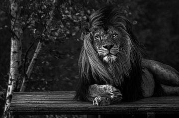 Afrikaanse leeuw in de wind van Daphne van Dam
