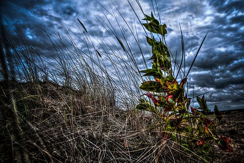 Heideplant Kootwijkerzand