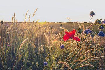 Coquelicots dans le champ pendant les soirées d'été sur Fotografiecor .nl