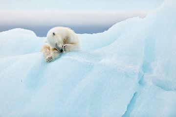 Polar Bear Grooming, Joan Gil Raga von 1x