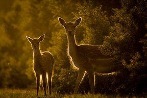 Twee herten bij ondergaande zon van
