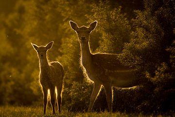 Twee herten bij ondergaande zon sur