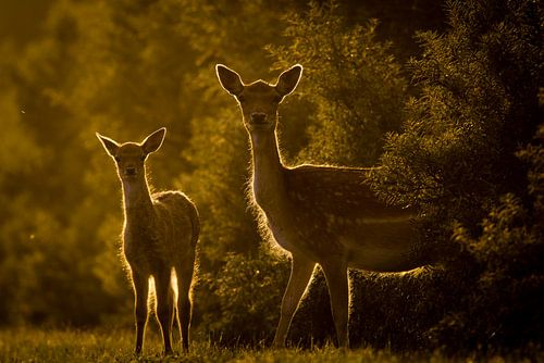 Twee herten bij ondergaande zon