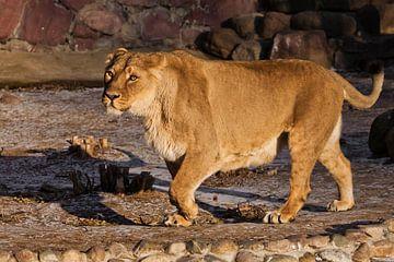 Une belle lionne jaune, puissante et poivrée, marche. sur Michael Semenov
