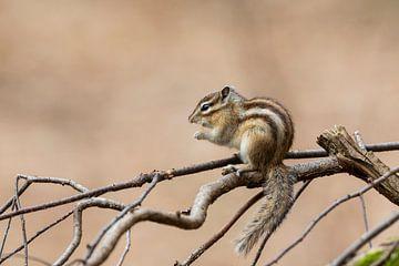 Un écureuil terrestre de Sibérie avec un joli fond sur Paul Weekers Fotografie