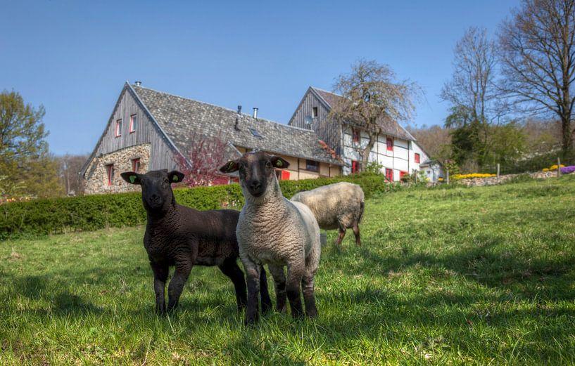 Lente en lammetjes  in Zuid-Limburg van John Kreukniet
