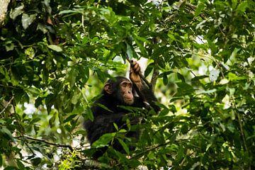 Chimpansee in de boomtoppen