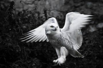 Schlagt mit den Flügeln auf schwarzem Grund. Weiße Eiseule im Sommer, wilder schöner Raubvogel. von Michael Semenov