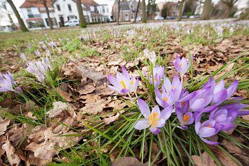 krokussen kondigen de lente aan von Marijke van Eijkeren
