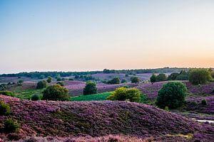 Heide op Veluwe in volle bloei