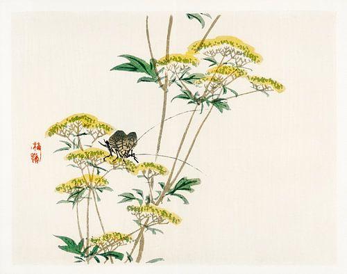 Flannel flower (Actinotus helianthi) door Kōno Bairei