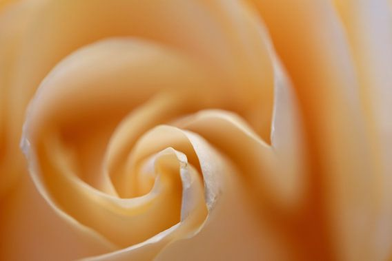 Zachte roos van Rudy De Maeyer