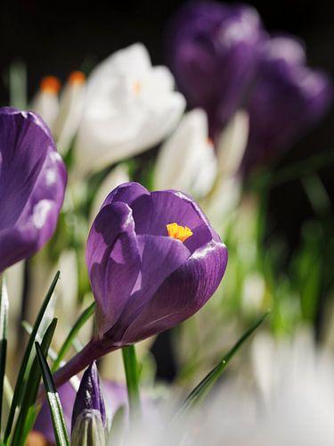 Paarse Krokus in bloemenveld I