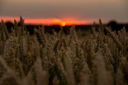 Sonnenuntergang getreidefeld