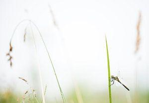 Schwarzer Heidelibel