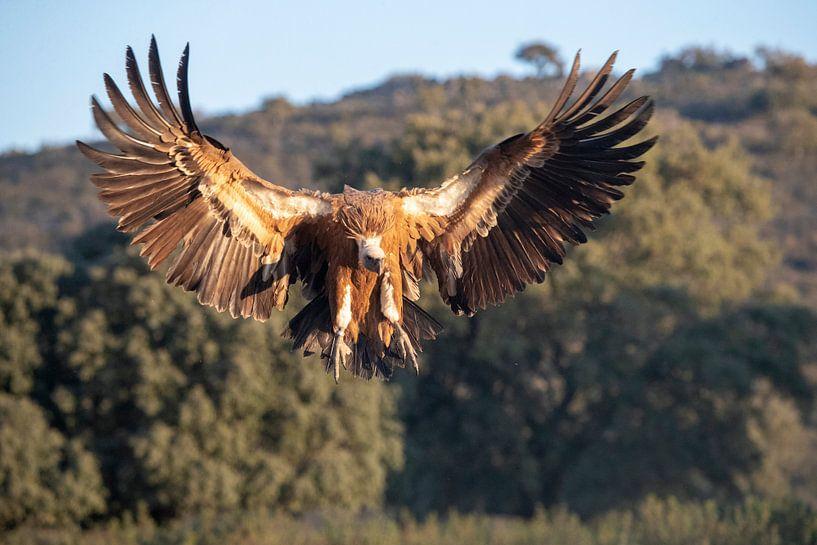 Vale Gier (Gyps fulvus) in vlucht. van AGAMI Photo Agency