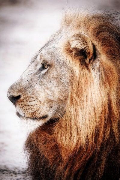 Löwe in Sambia, vintage von W. Woyke