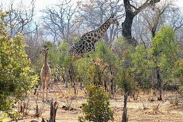 Junge Giraffe genießt den Tag von Merijn Loch