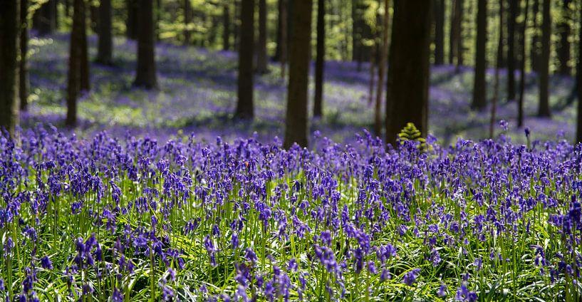 Wilde hyacinten in het Hallerbos van Filip Staes