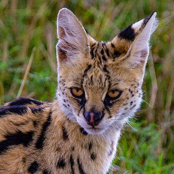 Serval kat van Peter Michel