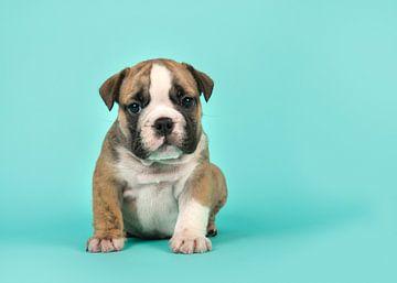 Engelse bulldog pup van Elles Rijsdijk