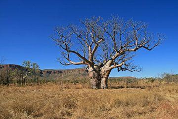 Baobab sur Antwan Janssen