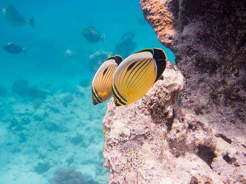 Blacktail butterflyfish van Michael Rust