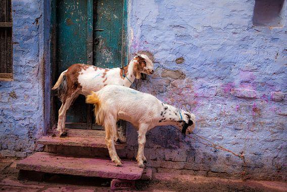 Gekleurde geiten één dag nadat het Holi festivak in India plaatsvond van Wout Kok