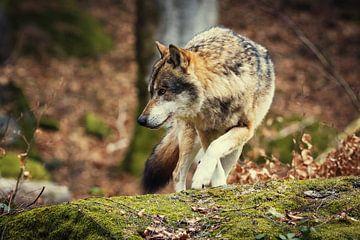 Wolf op een rots van Tobias Luxberg