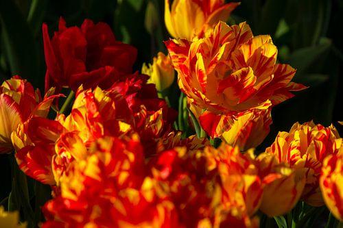 Geel met rode tulpen