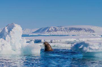 Walrus tussen de ijsschotsen van Merijn Loch