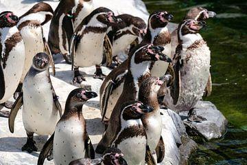 Groep pinguïns von Fran Lan