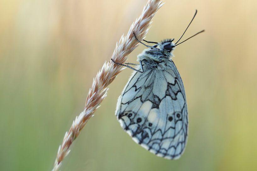Schmetterling - Schachbrett (II) von Astrid Brouwers