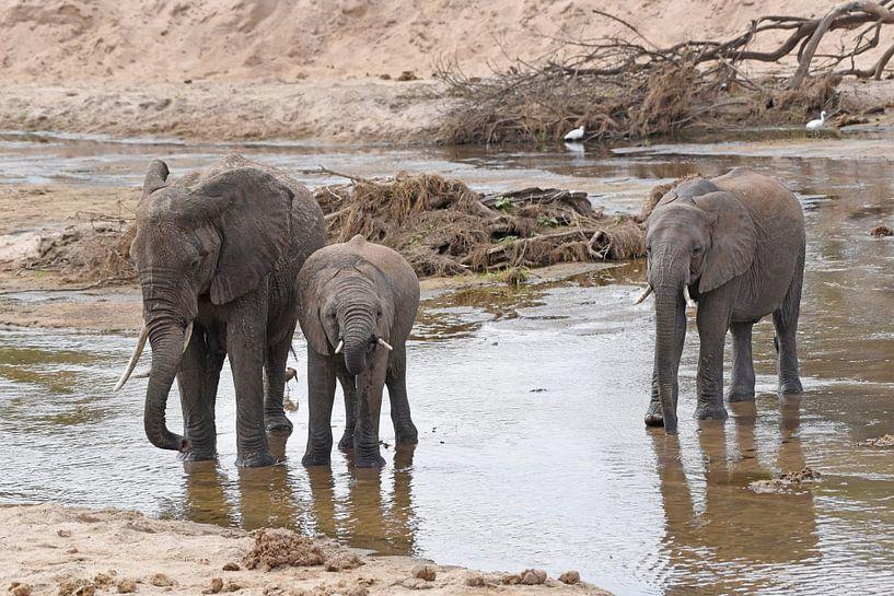 Faune : les éléphants d'Afrique se désaltèrent dans la rivière. sur Koolspix