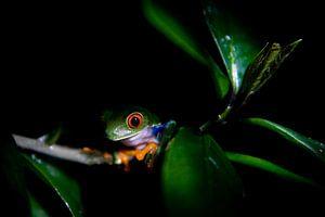 Roodoog boomkikker in de nacht, Costa Rica van Tessa Louwerens
