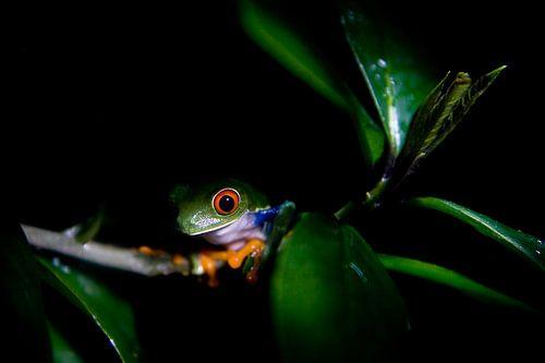 Baumfrosch auf einem Zweig in der Nacht von Tessa Louwerens