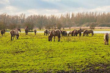 Konikpaarden grazend in het wild van Brian Morgan