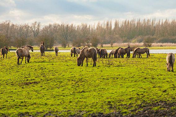 Konikpaarden grazend in het wild