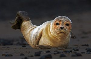 Jonge zeehond op het strand van